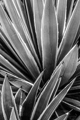 Centuryplant (Chase Ryan Shelby) Tags: cactus plant centuryplant