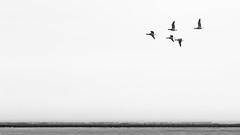 Brant goose (Branta bernicla) in Ternaard, The Netherlands (Frank Crooijmans) Tags: netherlands birds animal animals vogels aves nl dieren dier friesland animalia brant branta anatidae anseriformes ternaard brentgoose rotgans brantabernicla anatidaefamily eendvogels zwarteganzen eendachtigen canoneos70d ef70300mmf456lisusm avesclass animaliakingdom anseriformesorder brantagenus brantaberniclaspecies