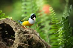 MMB_8823 (mmariomm) Tags: bird birds lady rainbow australia finch gouldian erythrura gouldiae