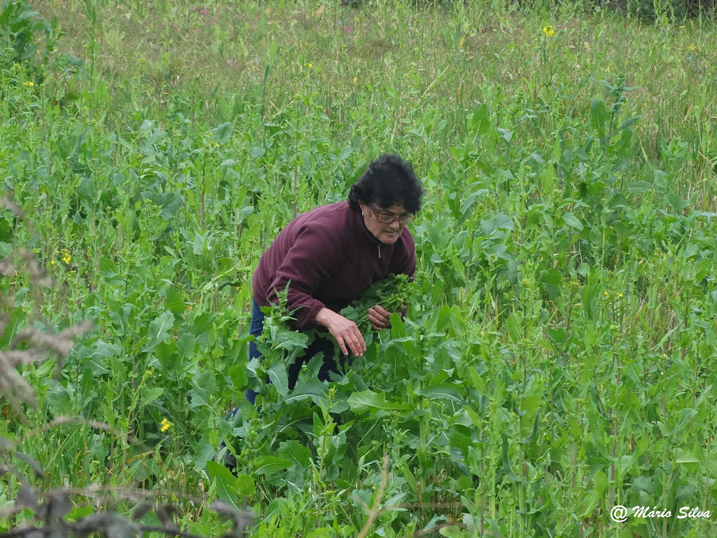 Águas Frias (Chaves) - ... no meio da verdura ... colhendo ....
