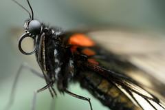 Papillons en Libert 2016 - Photo 42 (Le Chibouki frustr) Tags: macro butterfly insect nikon dof montral bokeh montreal butterflies insects fullframe fx botanicalgarden pdc jardinbotanique homa montrealbotanicalgarden hochelagamaisonneuve closeupfilter closeuplens jardinbotaniquedemontral d610 610 macrophotographie butterfliesgofree papillonsenlibert tamronspaf90mmf28dimacro nikond610 papillonsenlibert2016 butterfliesgofree2016 septimevisite seventhvisit