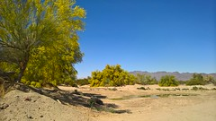 Palo Verde Tree Oasis (Ms. Jen) Tags: california spring desert oasis wash yellowflowers blooming paloverdetree desertcenter floweringtrees hwy177 photobyjeniferhanen lumia950 lumiavoicestrial