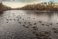 Let's Go (Suwaidyah) Tags: usa water birds boston river nikon charlesriver migrate nikond4s