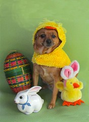 Chuck the Duck (M.P.N.texan) Tags: dog easter costume miniaturepinscher minpin toydog bankbunnyeggdog