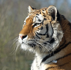 Paradise Wildlife Park (markcann1) Tags: tiger lion cheetah bigcats animalportrait paradisewildlifepark