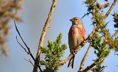 Linote mlodieuse (Philippe Garcelon) Tags: cardueliscannabina commonlinnet linottemlodieuse fringillids passriformes domainedesoiseauxdemazres