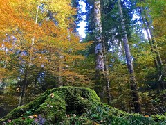 Colori autunnali (Fernando De March) Tags: giallo autunno colori bosco faggi
