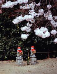 Flower Viewing of Guardian Deities (Purple Field) Tags: color slr 120 film japan analog walking cherry temple iso100 spring kyoto fuji velvia bronica e    sakura medium 6x45    jizo guardian f40  100f nagaokakyo  150mm  etrsi rvpf  zenza  zenzanon