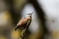 Nuthatch (Steve Balcombe) Tags: uk male bird somerset nuthatch rspb europaea sitta swellwood