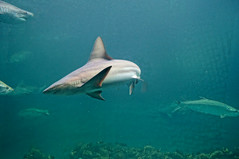 DSC03770 (emmanrog) Tags: animales marino acuario tiburn