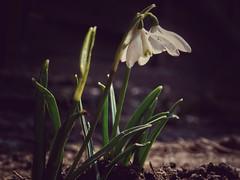 First flower  #macro #nikon #coolpix #L840 #flower #nature #naturephotography #sunnyday #spring (goatrip69) Tags: flower macro nature spring nikon coolpix sunnyday naturephotography l840