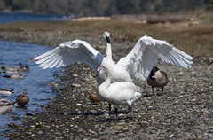 swans (rlittle16) Tags: ca canada britishcolumbia colwood