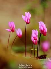 I colori della Primavera: Ciclamino (Cyclamen L. 1753) (Roberto PE) Tags: cyclamen ciclamino