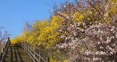 Eungbongsan_Mountain_Spring_06 (KOREA.NET - Official page of the Republic of Korea) Tags: spring korea seoul springflowers       eungbongsan  eungbongsanmountain
