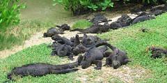 Taking some sun rays (SamSpade...) Tags: sea marine galapagos iguana 584 3678 amblyrhynchuscristatus 090718 abigfave