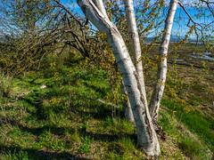 Silver Birch shine (Tony Tomlin) Tags: canada britishcolumbia crescentbeach blackiespit southsurrey crescentbeachbc