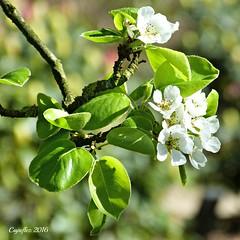 Blossom - perenbloesem (Cajaflez) Tags: spring blossom ngc npc pearblossom printemps bloesem voorjaar fruhling birnenblte perenbloesem fleurdepoirier