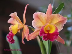 Potinara Exotic Dream (Ligia M Lo Re) Tags: naturaleza nature garden orchids gardening natureza natur 5d orqudeas orchide myyard orkide myorchids jardinagem canonmarkiii orquidfilos minhasorqudeas