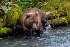 Brown Bear looking for Salmon in Alaska (Mark Harris photography) Tags: bear alaska creek canon ak brownbear