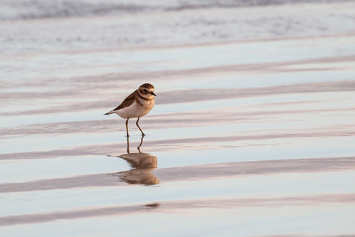 Double-banded plover (Charadrius bicinctus)