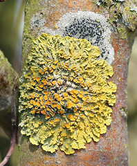Luscious Lichen! (RiverCrouchWalker) Tags: orange yellow spring treetrunk bark april lichen common essex xanthoriaparietina 2016 foliose thallus southwoodhamferrers apothecia