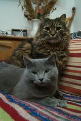 Amor felino (Sergio991) Tags: cats cat gatos gato felinos