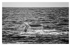 Sperm Whale, Coast of So Miguel, Azores (fsanty) Tags: ocean trip holiday nature water monochrome animal darkroom canon eos coast boat blackwhite diving atlantic luck mammals patience whalewatching azores spermwhale somiguel vsco canoneos5dmarkii 5dmkii tamron70300vcusd