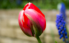 Tulip (williams19031967) Tags: summer plant flower macro field magazine garden spring nikon close tulips outdoor ngc scenic national tulip serene dslr depth geographic delights d7100 d7200