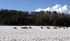 herd (Ca1820) Tags: snow deer elks yellowstonepark