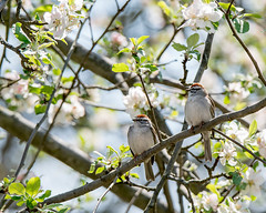 Double the Fun - Chipping Sparrows (flying cats (AKA Penny Carlson)) Tags: flowers tree bird apple newjersey sony nj sparrow flowering tamron chipping hunterdon 150600mm a7rii