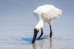 Royal Spoonbill 710_6609.jpg (Mobile Lynn) Tags: wild bird nature water birds fauna coast wildlife australia coastal queensland marsh wading wetland spoonbill ciconiiformes royalspoonbill cairnscity coth5