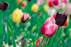 CMJ_3138 (cmj_rnrgrl) Tags: flower lensbaby virginia tulips velvet farms haymarket 56 burnside