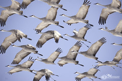 DSC_0138 (mikeyasp) Tags: birds flying inflight nebraska flock cranes formation avian sandhillcranes gruscanadensis