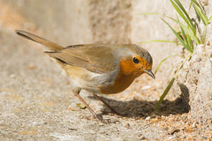 Robin (Shane Jones) Tags: bird robin nikon redbreast tc14eii gardenbird 200400vr d7200