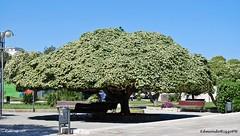 Pittosporo - Pittosporum (edmondo rizzo) Tags: monumento fiori albero otranto pianta pittosporum fiorito ornamentale pittosporo monumentonaturale