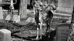 Forest Hill Cemetery (Crunch53) Tags: cemeteries cemetery graveyard animal forest outdoors scenery michigan hill ground deer burying
