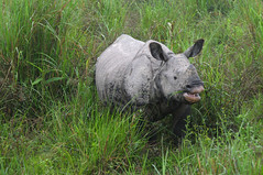 KAZ_269 (soggy_3_16) Tags: birds nikon wildlife rhino 70300 kaziranga d90