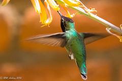 IMG_3161.jpg (ashleyrm) Tags: travel arizona birds museum sonora desert tucson hummingbirds birdwatching avian tucsonarizona hummingbirdaviary