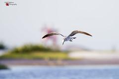 Florida Shorebird (Todd Ryburn) Tags: bird nature water walking inflight profile shoreline smallgroup selectivefocus lowperspective shorebirds wingsspread naturalsetting