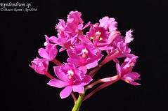 Epidendrum sp. (Mauro Rosim) Tags: orchid flower flor terrestre terrestrial orqudea
