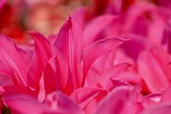they're baaaaaack... (armykat) Tags: pink floral gardens garden tulips tulip longwoodgardens pinktastic petaltastic natureycrap kennettsquarepennsylvania tulipalooza tulipalooza2016