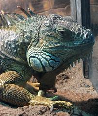 iguana (lisafree54) Tags: blue nature animal reptile wildlife free lizard iguana scales spines cco scaly jowly freephotos