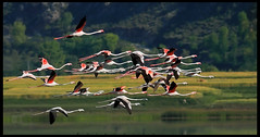 Flamingoes Formation..!! (wajahat malik) Tags: travel light mountain lake detail forest flamingoes photography photoshoot bokeh outdoor naturallight formation wilderness selectivefocus 400mm colourfull canonguy coloursofnature nationgeographic birdsofpakistan wwfpakistan fornaturelovers beautyofpakistan vjmalik
