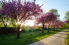Kirschblten im Slzer Aquarienweg in Kln (hellebaud) Tags: kln cherryblossom morgen baum cherrytree frhling allee blten kirschblte kirschblten