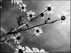 20130715-424 (sulamith.sallmann) Tags: flowers bw plants plant france flower floral fleur frankreich europa pflanze pflanzen blumen sw normandie blume manche fra froschperspektive lahague bassenormandie sulamithsallmann treauville