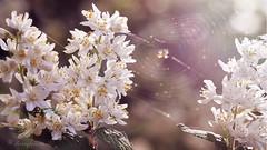 lovely trap (cherryspicks) Tags: sun sunlight white plant flower tree cherry spider spring day blossom bokeh outdoor web bloom lovely flowercluster