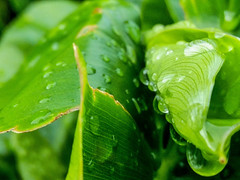 Macro plant (jessujimnez) Tags: plants plant macro planta hoja nature rain leaf drops natural zoom drop