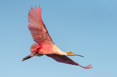 Roseate Spoonbill (Happy Photographer) Tags: pink bird texas flight spoonbill roseate highisland amyhudechek