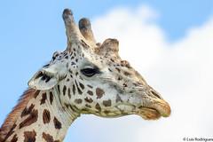 Girafa (dragoms) Tags: africa mammal kenya wildlife nairobi giraffe girafa mamfero giraffacamelopardalis nairobipark qunia dragoms