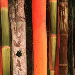 Port Douglas December 2015 (i_shudder) Tags: colour composition port shapes australia bamboo queensland form douglas iphone iphoography